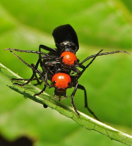 Blister Beetles (Epicauta hirticornis, Meloidae)