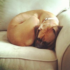 Jade the boxer napping