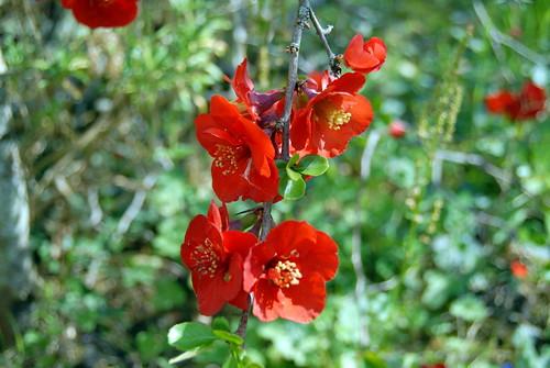 Arbres en fleurs HD-021