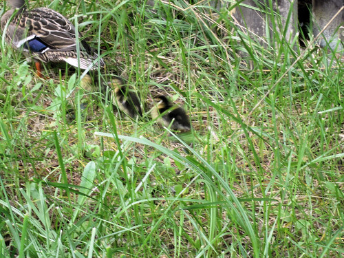 Ducks8