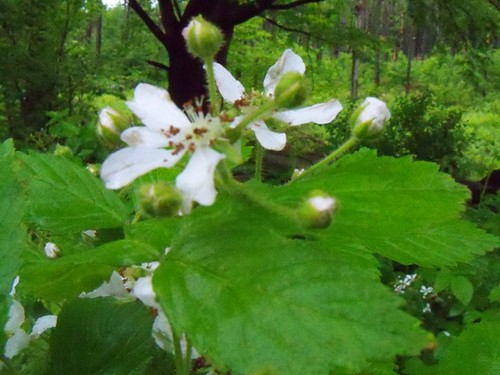 blackberry blooms