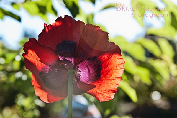 paper-poppy