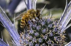 Bee Closeup (P1260840 - Crop)
