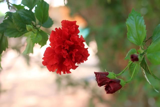 paticheri hibiscus flower syrup (17)