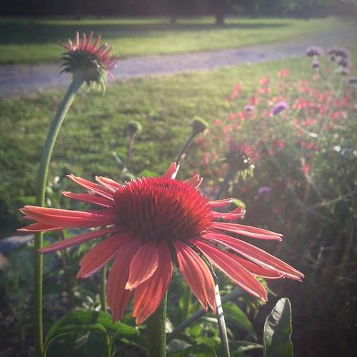 sunset, coneflower, garden, gardening