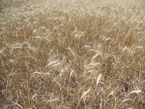 Hailed wheat in Duke