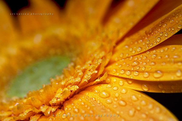 macro drops on yellow flower