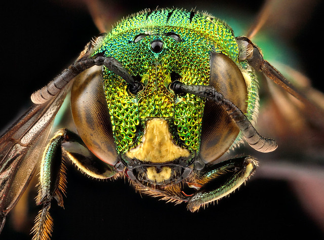 Ceratina-smaragdula,male,-face_2012-06-13-16.37.19-ZS-PMax
