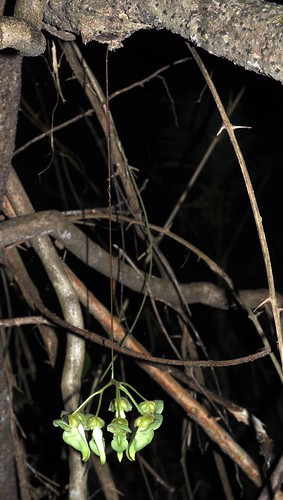 Mucuna gigantea DSC_0183