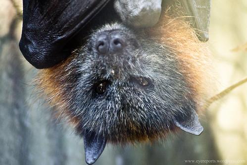fruit bat by gomagoti