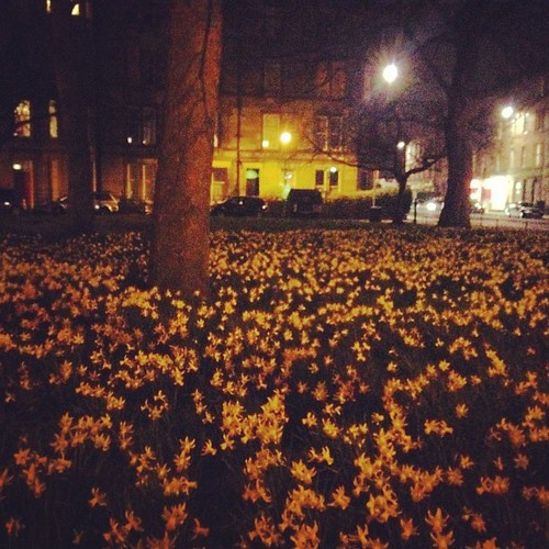 Day 121 of Project 365: Dark Daffodils