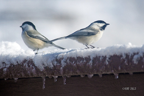 Cold Chickadees