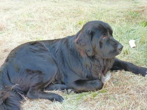 5-26-12 CA - Ruth Lake 7 Bear resting