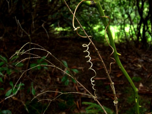 greenbriar tendrils