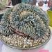 Monstrose Ariocarpus