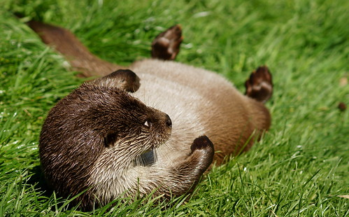 'A damp-looking otter rolls in very green grass'