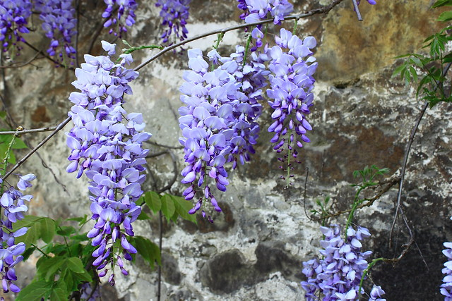 Glicina, Flor de la pluma, Wisteria sinensis #Photography #Flickr #Foto  25