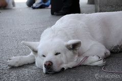 cutest dog in asakusa !