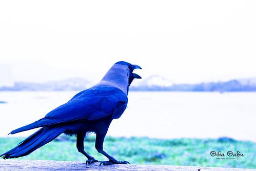Crow by sibasahu