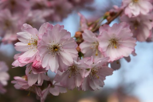 20110327_1253_cherry-blossom
