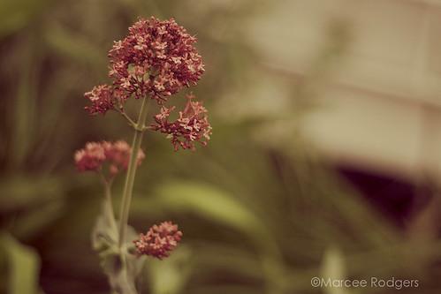FLOWERWALKREDSTEM-9268_WEB by marceerodgers