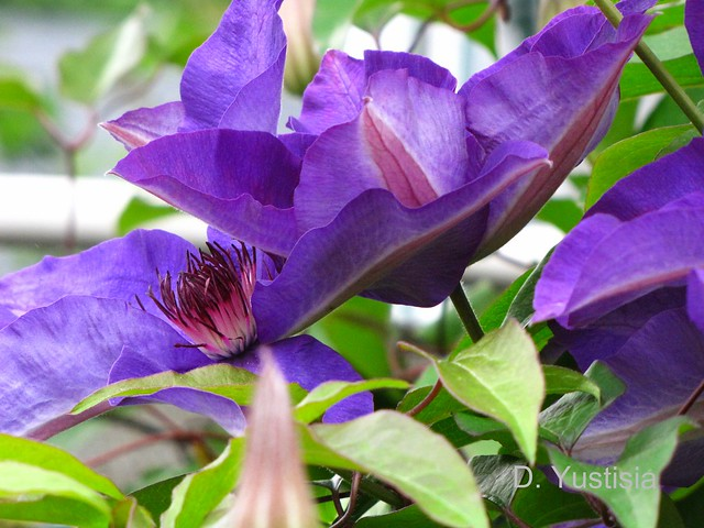 Purple Guiding Star Clematis