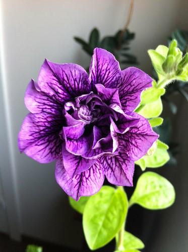 Petunia by niini