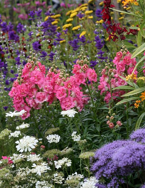 antirrhinum_double_azalea_pink_garden1