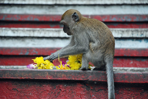 Macaque eating flowers
