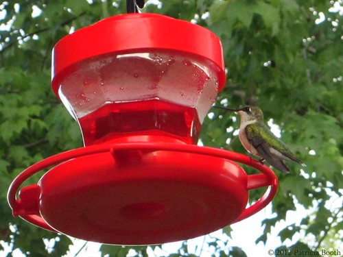 Day 193 Getting to Know Our Hummingbirds by pixygiggles