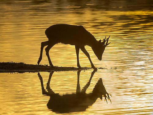 Roe-Deer-Stag_silhouette
