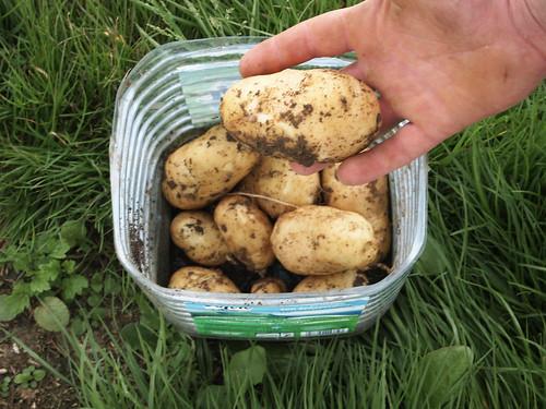 Premières patates !