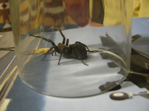 Wolf Spider under glass