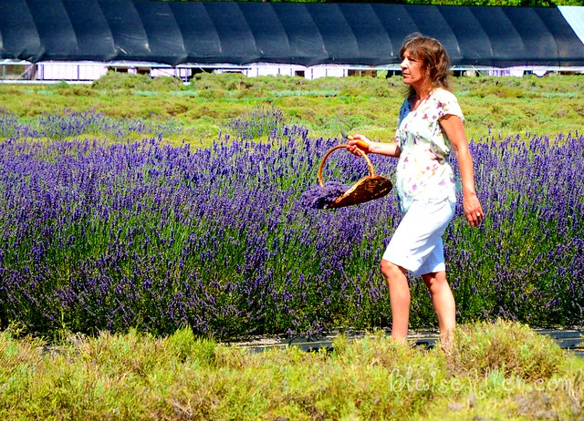 Collecting lavender
