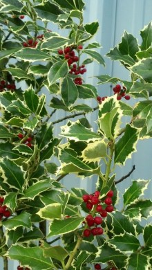 varigated and green holly