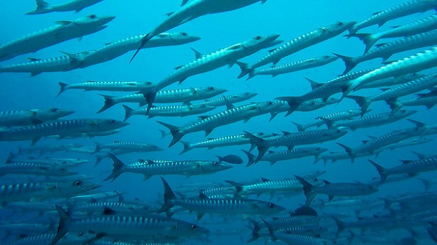 Barracuda school. Diving Sipadan
