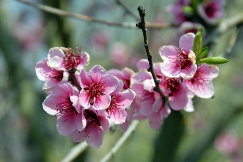 Arbres en fleurs HD-019