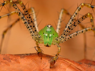 Green Lynx Spider, Peucetia viridans [Explored]