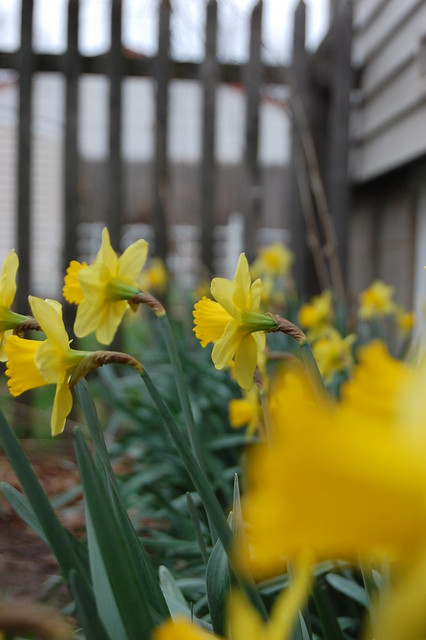 Daffodils on the south side of my house