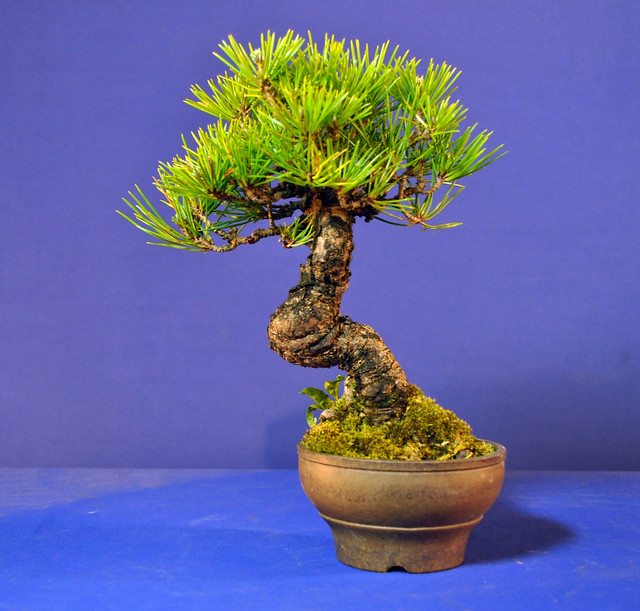 Outstanding Japanese Black Pine Wiring Bonsai Eejit Wiring Digital Resources Funapmognl