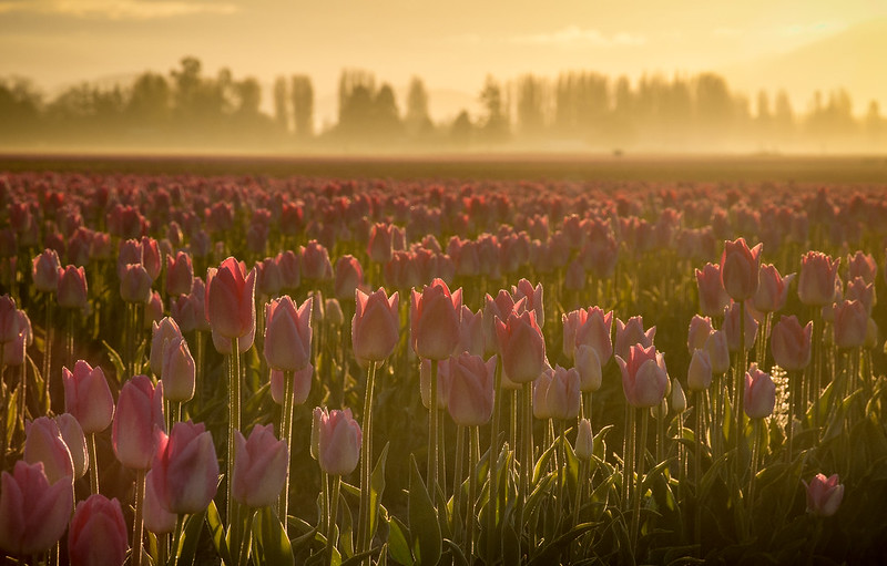 Misty Tulip Sunrise