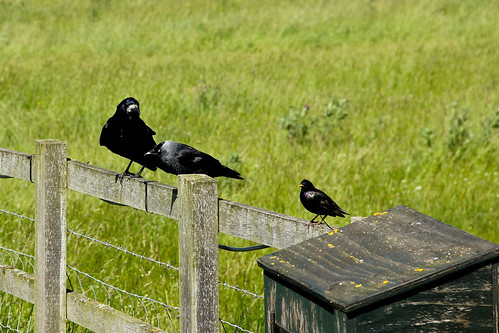 Salisbury Crows