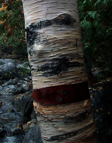 wounded birch