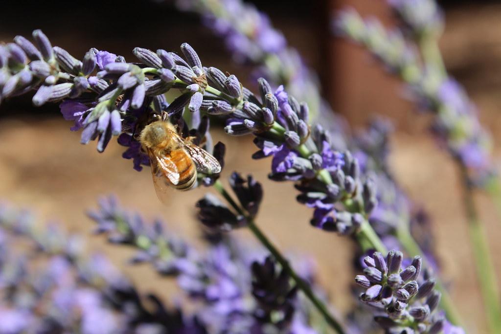 lavenders & bee