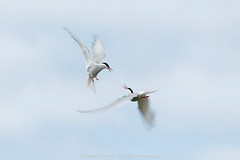 Arctic terns, Iceland by Branimir Gjetvaj, on Flickr
