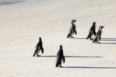 Penguin Colony at Boulder's Beach, Simon's Town