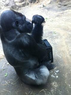 Another gorilla