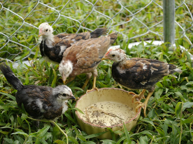 Chicks, Feathering In