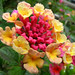 Verbena (Lantana camara)