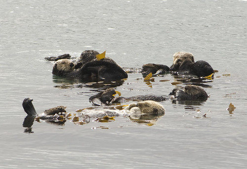A handful of sea otters float peacefully amongst kelp in a smooth sea.